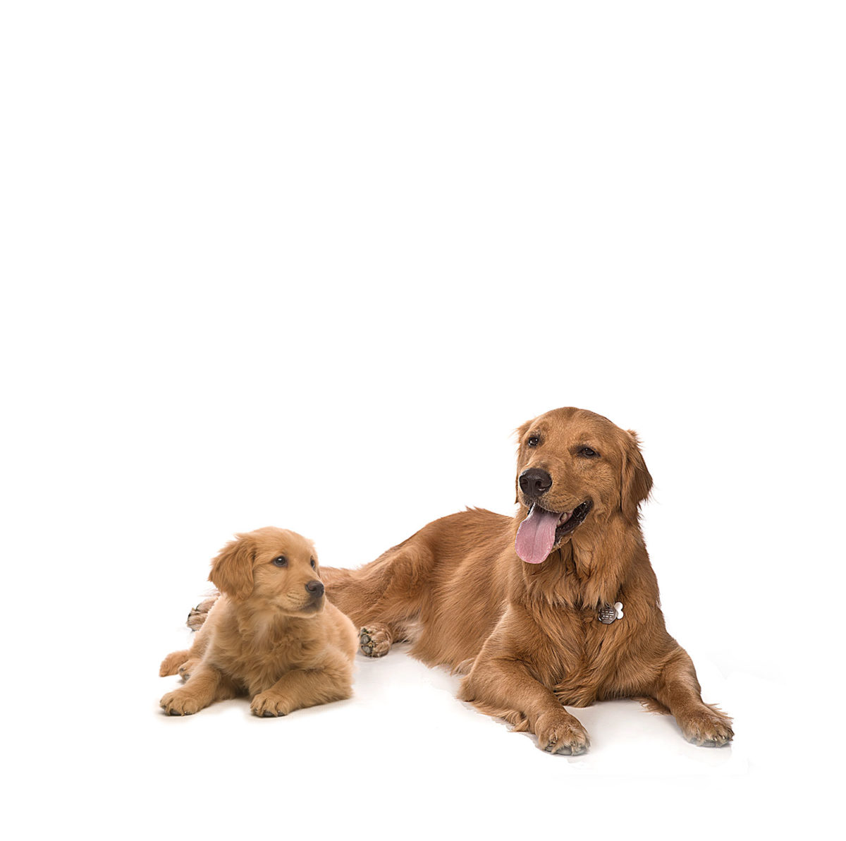 Puppy and adult golden retrievers