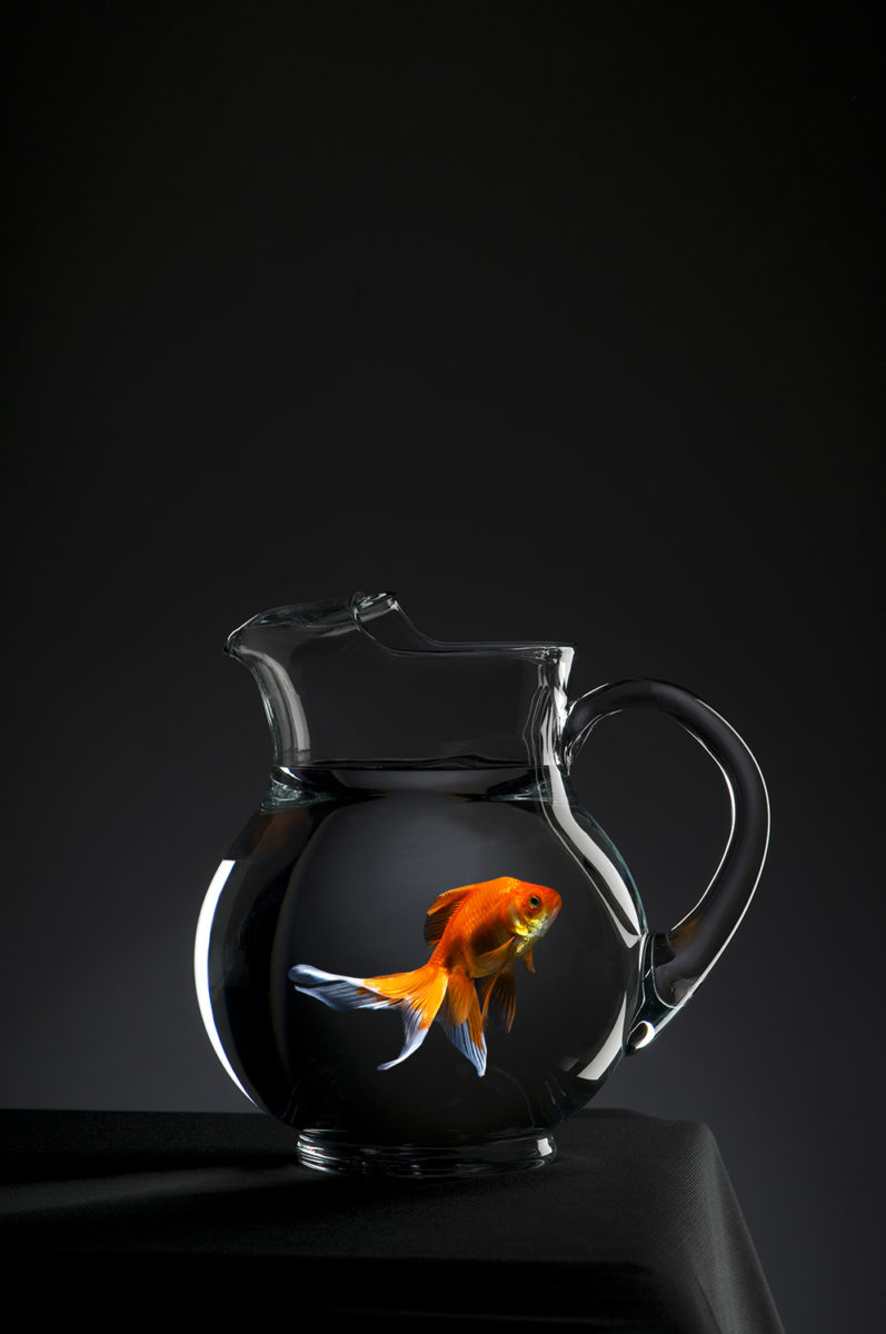 Goldfish in a clear glass pitcher