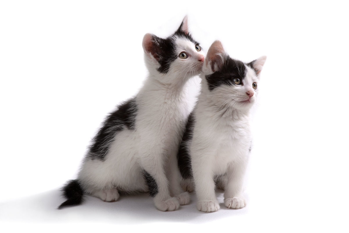 Two Black and white kitties looking off to the right
