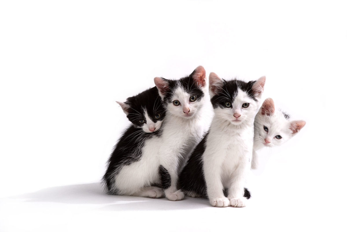 Group shot of four black and white kitties