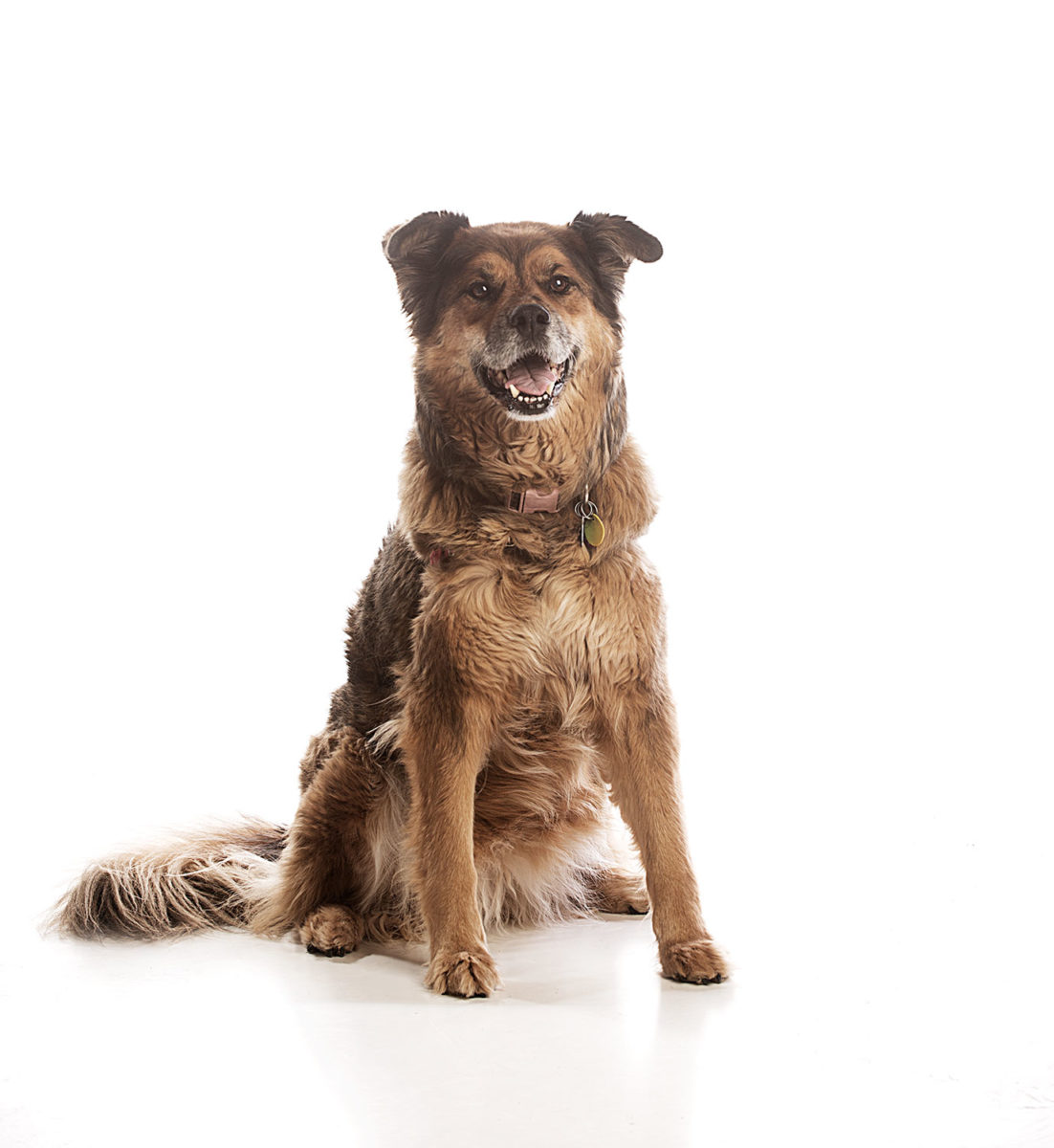 Studio photograph of a brown adult dog.