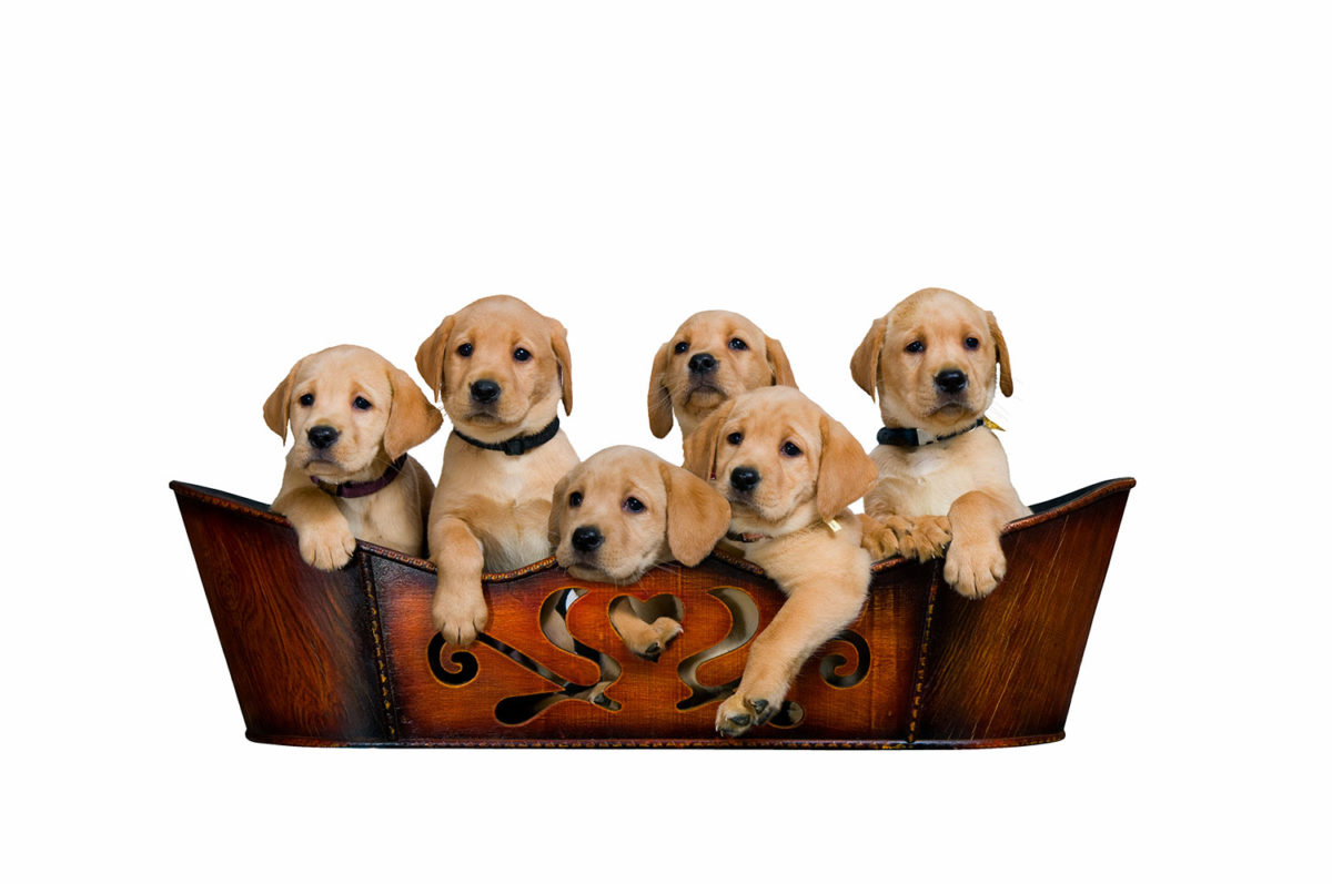 six adorable Lab puppies in a brown wooden basket