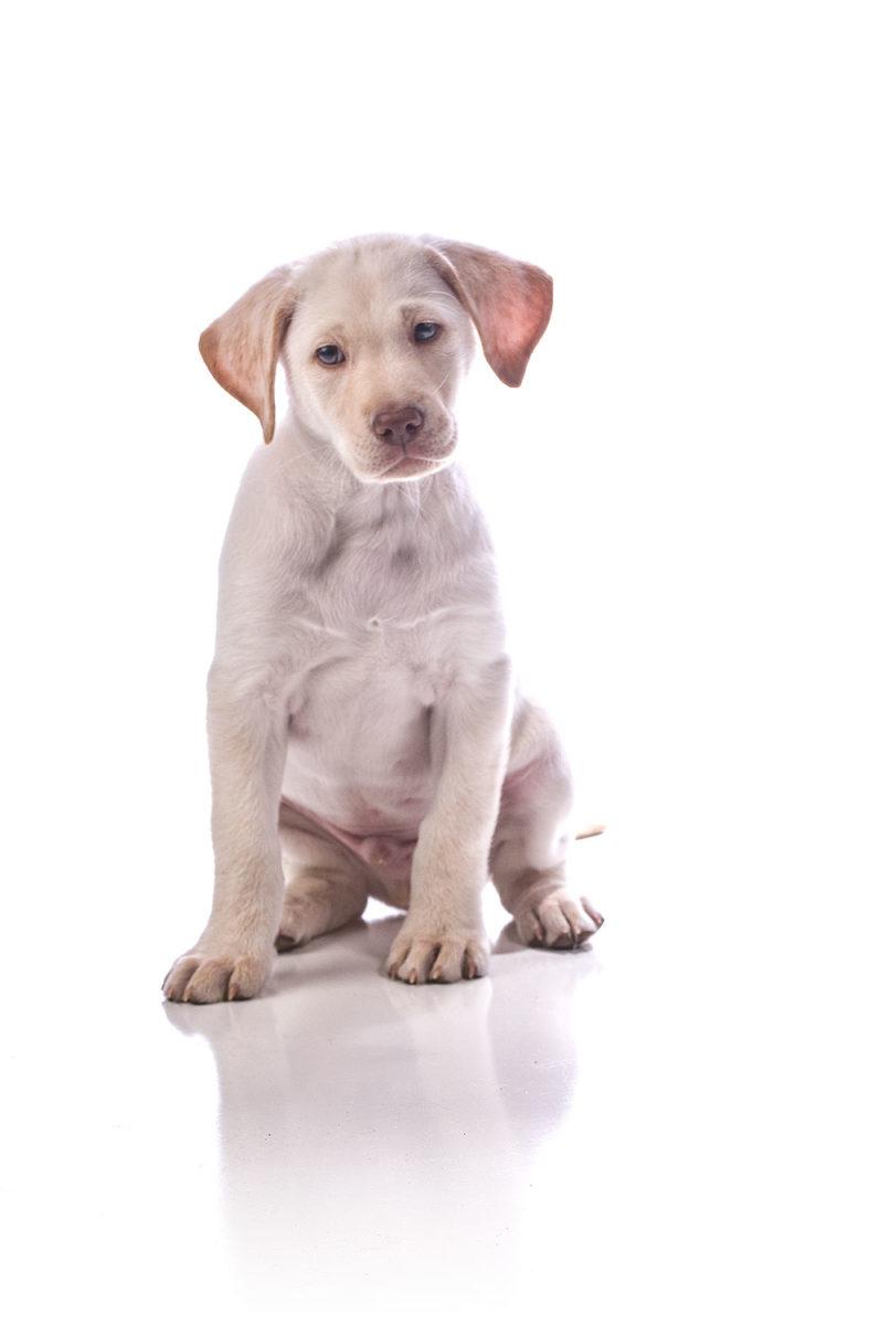 Studio photograph of a Lab puppy