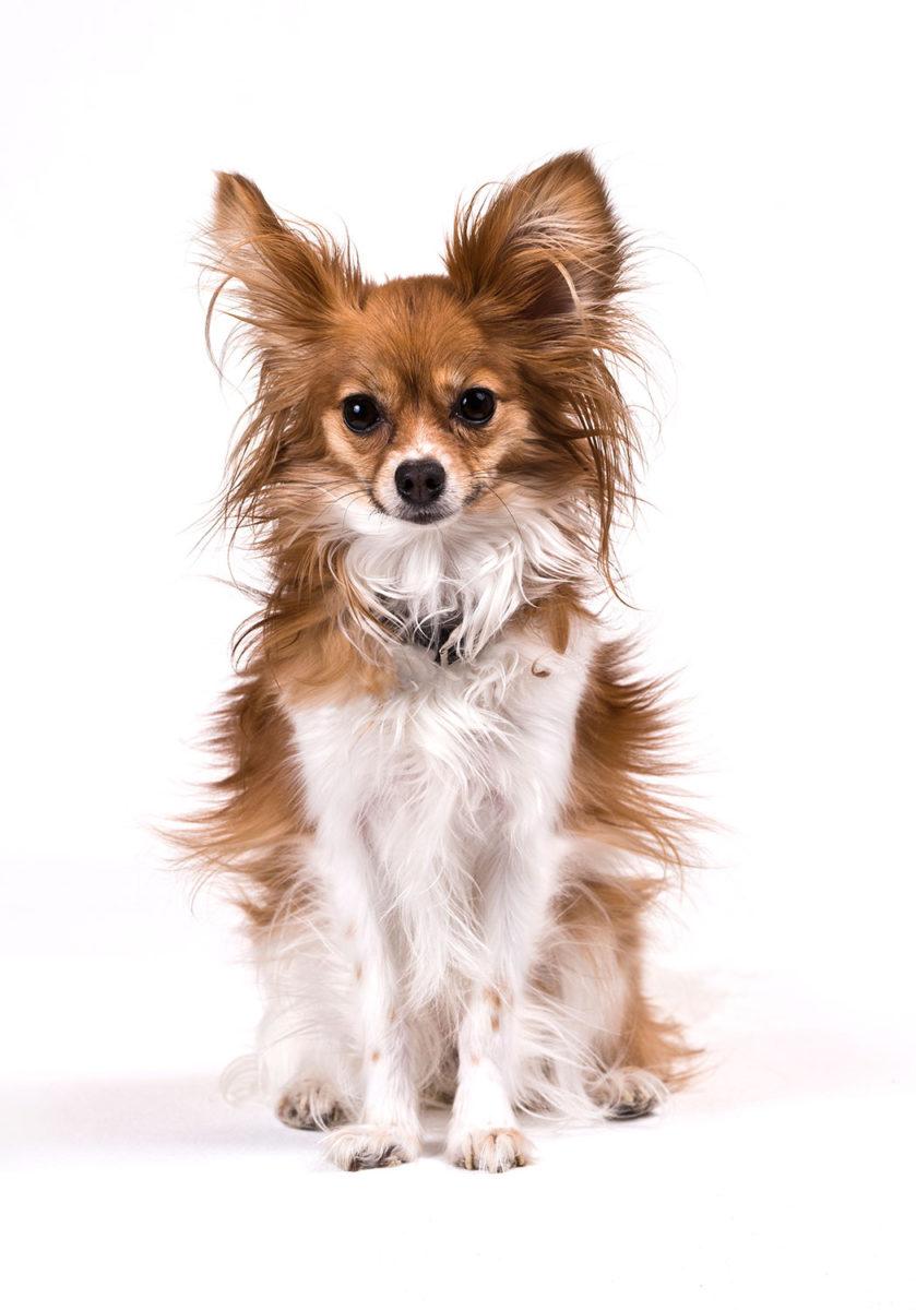 Studio portrait of a small breed dog