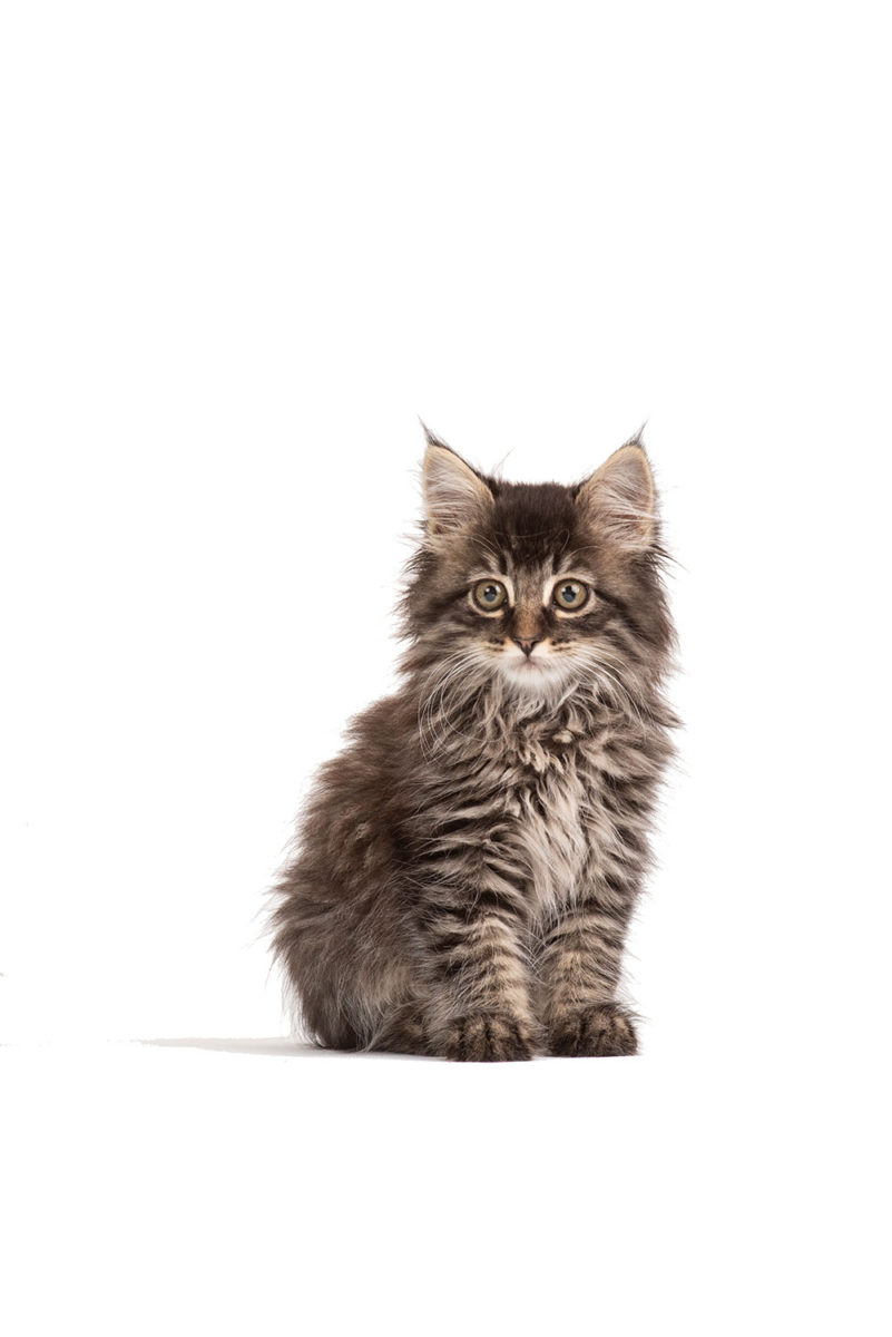 Wide eyed Maine Coon Kitty on a white background