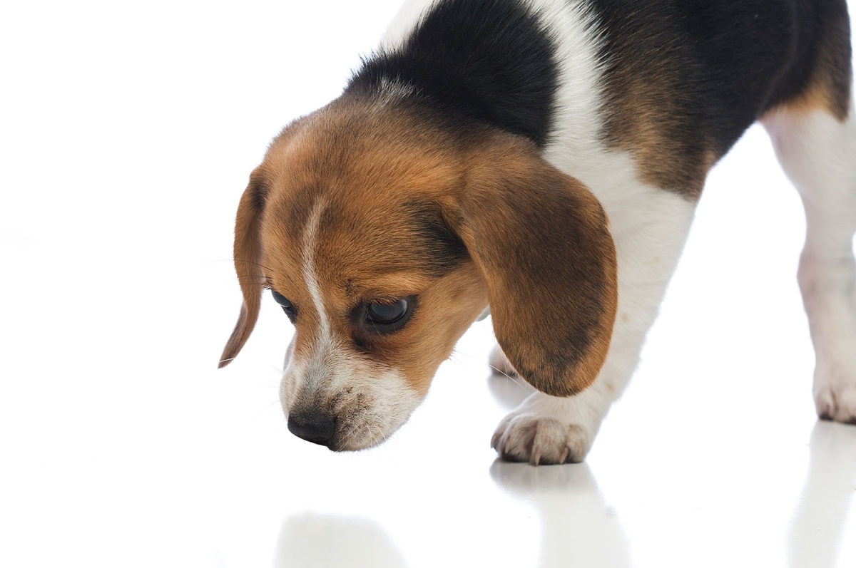 Beagle puppy looking at the floor