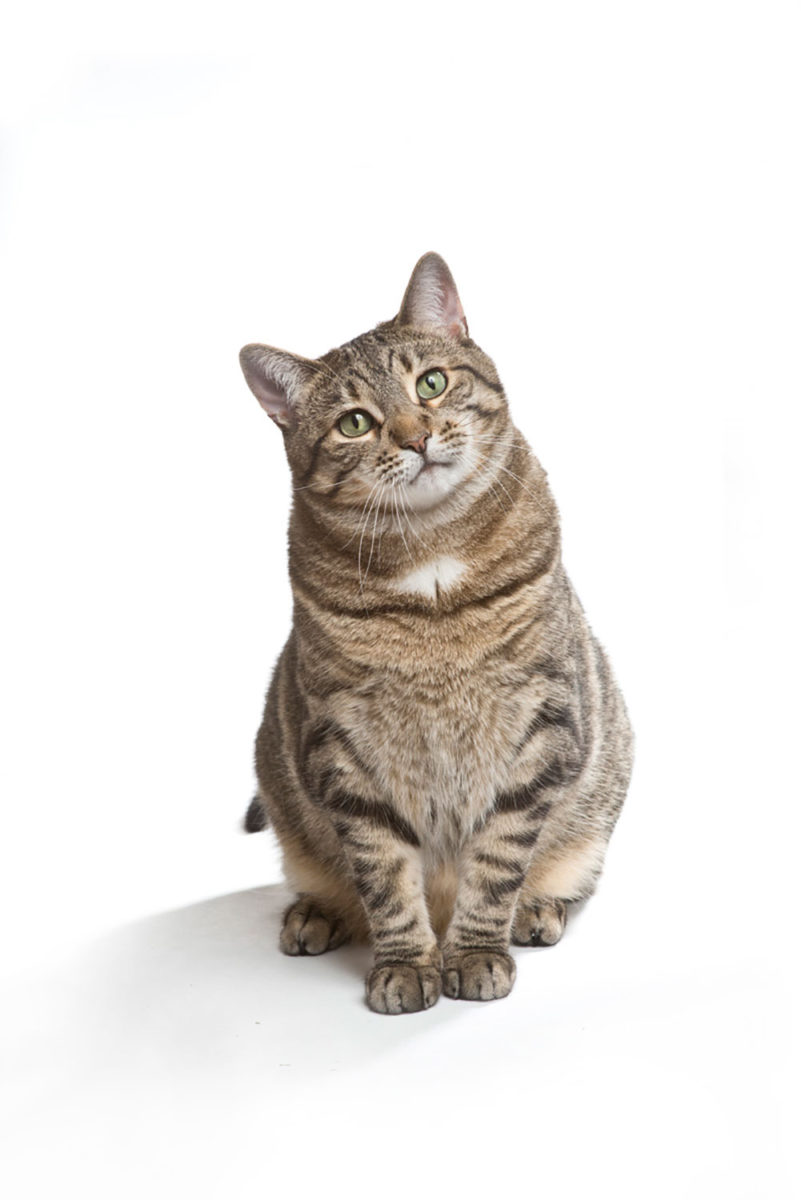 Full body studio photograph of a Tiger cat with green eyes